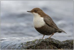 White-throated Dipper : National Bird Of Norway