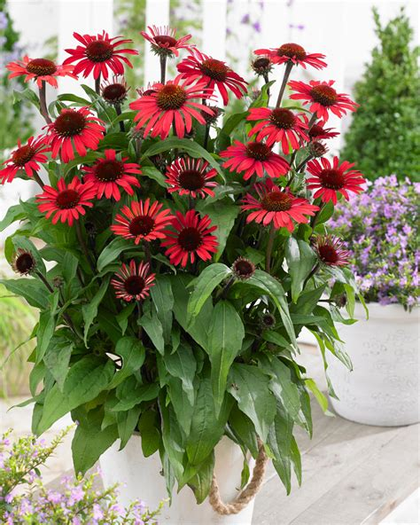 ECHINACEA SunSeekers 'Red'® (Solhat)