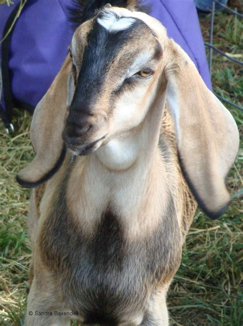 Pin on Tech Info for Vets interested in Goats