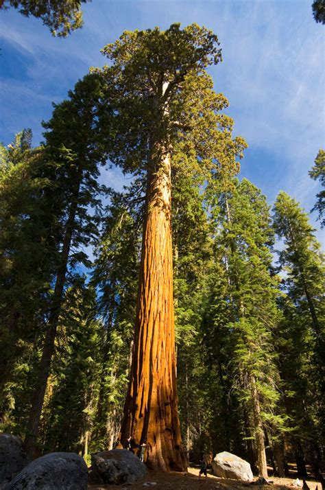 giant sequoia national park - High Sierra Visitors Council