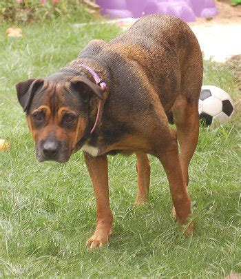 Cute Dogs: German Ghepherd Mixed With Rottweiler