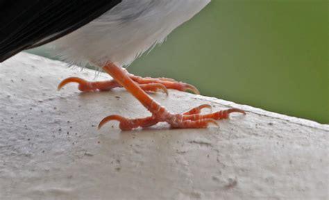 Pictures and information on Yellow-billed Cardinal