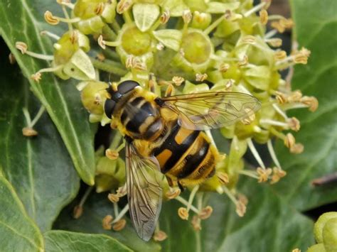 Identifying Insects on Ivy Flowers : For education